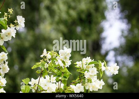 Syringa, Filadelfo è lussuoso vergine fiore profumato di