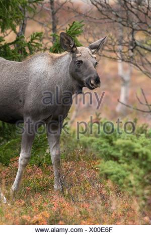 Alce nella foresta Foto Stock