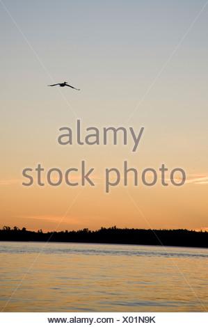 Il lago dei boschi, Ontario, Canada; uccello in volo sopra il lago con il tramonto del sole Foto Stock