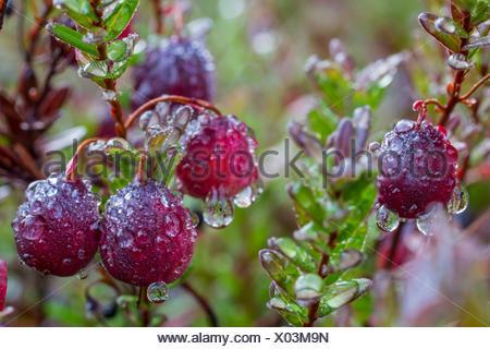 Mirtilli rossi con gocce di pioggia, Ontario, Canada Foto Stock