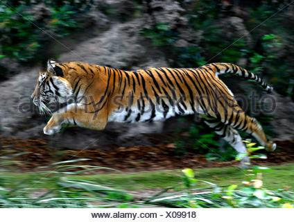 Tiger (Panthera tigris), laterale jumping, azione Foto Stock