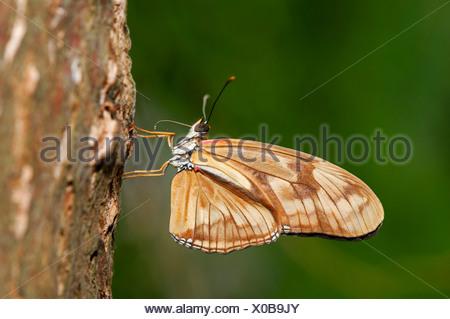 Julia Butterfly, Julia Heliconian o la Fiamma (Dryas iulia), subito dopo la schiusa delle uova, le due metà di elemento a proboscide non sono ancora Foto Stock