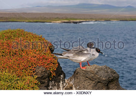Swallow-tailed Gull (Creagrus furcatus), due individui seduti su una roccia sul mare, Ecuador Isole Galapagos, Plaza Sur Foto Stock