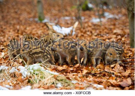 Il cinghiale, maiale, il cinghiale (Sus scrofa), shoats in una foresta, in Germania, in Renania settentrionale-Vestfalia Foto Stock