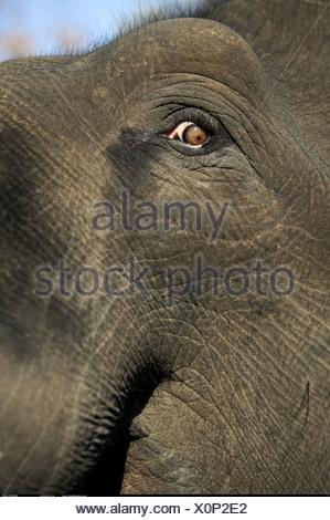 Close up di un elefante indiano s eye Bandhavgarh India Foto Stock