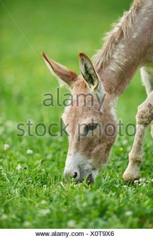Asino domestico (Equus asinus asinus), otto ore di vecchio asino puledro in un prato, Germania Foto Stock