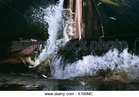 Humpback Whale affondo con l'alimentazione,Tenakee ingresso, a sud-est di Alaska Foto Stock