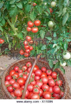Abbondante fruttificazione di pomodori Foto Stock