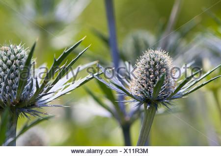 Mare holly, Eryngium x zabelii Jos Eijking. Thistle-come le teste dei fiori circondata da spinoso di colore argenteo delle brattee blu. Foto Stock