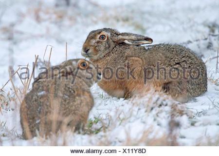 Lepre europea, Marrone lepre (Lepus europaeus), due lepri in un prato nevoso, Germania, Schleswig-Holstein Foto Stock