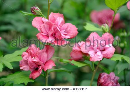 Arbustiva althaea, rose-di-Sharon (Hibiscus syriacus 'libertà', Hibiscus syriacus libertà), cultivar libertà