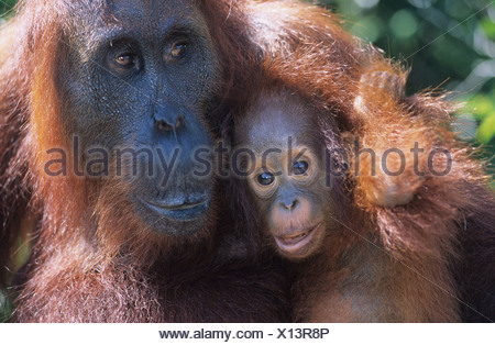 Orangutan abbracciando giovani, close-up Foto Stock