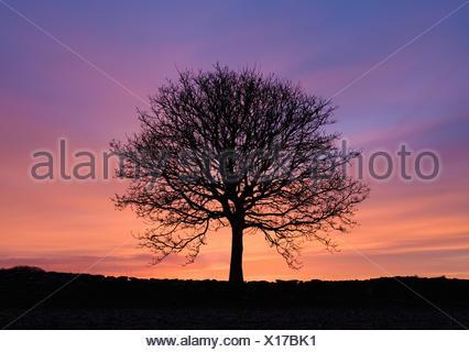 Stagliano partorì il frassino al tramonto Foto Stock