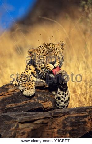 Leopard (Panthera pardus) leccare la sua zampata, Namibia, Africa Foto Stock