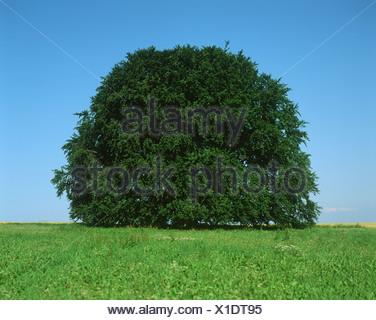 Albero in un campo Foto Stock