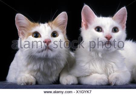 Bagno turco van gatto domestico madre e posa gattino foto