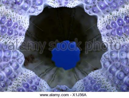 Shore ricci di mare, shore urchin, viola con punta di ricci di mare (Psammechinus miliaris), dei ricci di mare esoscheletro da una spiaggia Foto Stock
