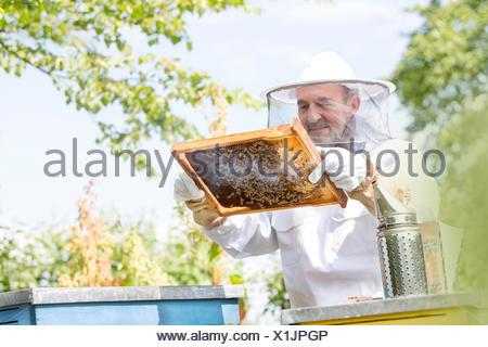 Apicoltore in tuta protettiva esaminando le api sul favo di miele Foto Stock