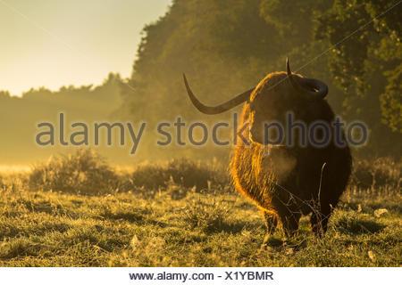 Highland mucca (Bos taurus) in piedi nella prateria durante il Sunrise, Paesi Bassi Overijssel, witte veen Foto Stock