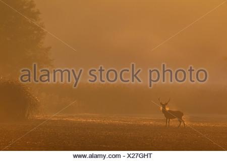 Il cervo (Cervus elaphus), feste di addio al celibato su un campo di nebbia di mattina, in Germania, in Sassonia, Oberlausitz Foto Stock