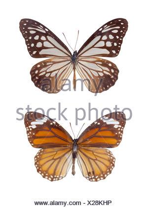 Macchie di tiger farfalle Foto Stock