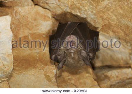 Ferro di cavallo mediterraneo bat (Rhinolophus euryale), un bat appesi in una grotta, Grecia, Peloponnes, Messinien, Pylos Foto Stock