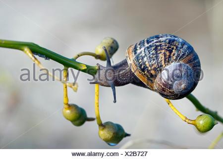 Giardino marrone va a passo di lumaca, marrone gardensnail, giardino comune lumaca, Europeo lumaca marrone (Helix Aspersa, Cornu aspersum, Cryptomphalus aspersus), su un ramoscello, Germania Foto Stock