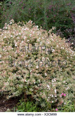 Abelia Grandiflora Conti Confetti Foto Immagine Stock 275916304