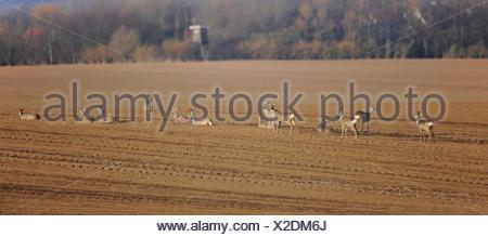 Il capriolo (Capreolus capreolus) in piedi e giacente in un campo, Erfurt, Turingia, Germania Foto Stock