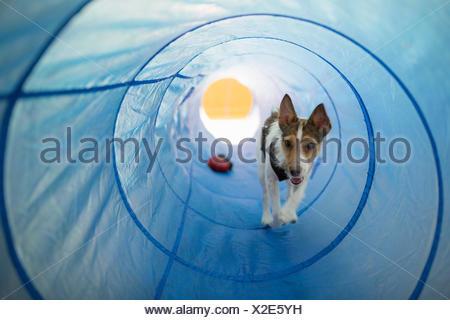 La riproduzione del cane in Agility tunnel Foto Stock