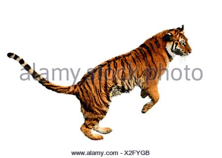 Tiger (Panthera tigris), jumping Foto Stock