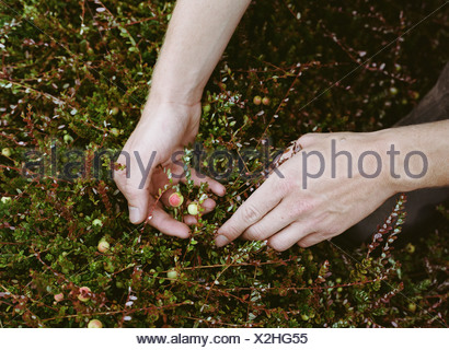 Una fattoria di mirtillo palustre in Massachusetts. Colture in campi. Un giovane uomo che lavora sul terreno, il raccolto del prodotto. Foto Stock