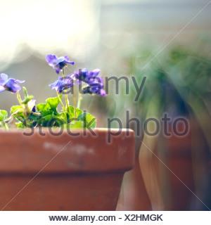 Fiore in vaso Foto Stock