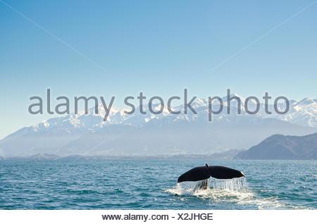 coda di balene in mare, Kaikoura, Canterbury, isola del Sud, Nuova Zelanda Foto Stock
