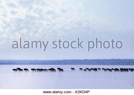 Blue GNU, borchiati gnu, bianco-barbuto GNU (Connochaetes taurinus), allevamento di wildebeests attraversando il lago Ndutu nel crepuscolo, Tanzania Serengeti National Park Foto Stock