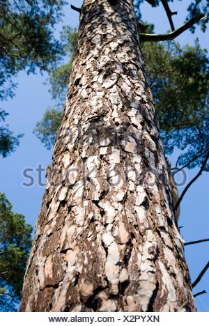 Pino silvestre, pino silvestre (Pinus sylvestris), tronco, Germania Foto Stock