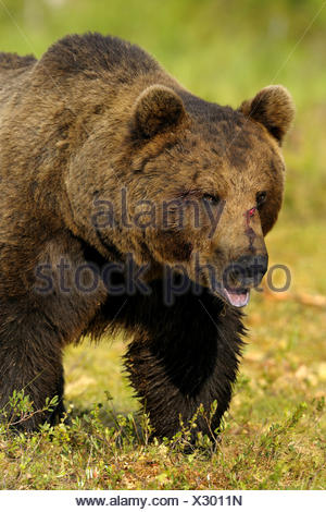 Unione l'orso bruno (Ursus arctos arctos), adulto maschio, Finlandia Foto Stock