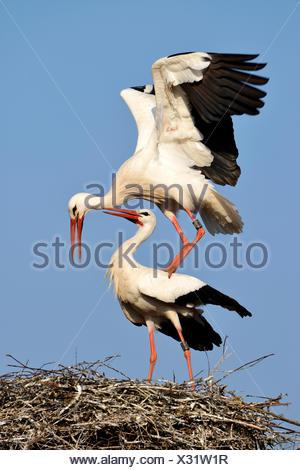 Cicogna bianca (Ciconia ciconia) coniugata, Cantone di Argovia, Svizzera Foto Stock