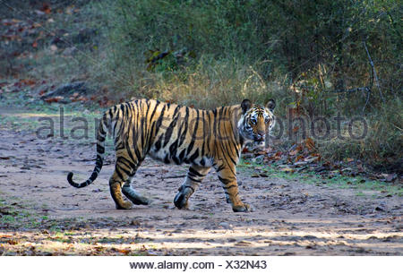 Tigre del Bengala (Panthera tigris tigris), passeggiate a Sunshine, in India, il Madhya Pradesh Bandhavgarh National Park Foto Stock