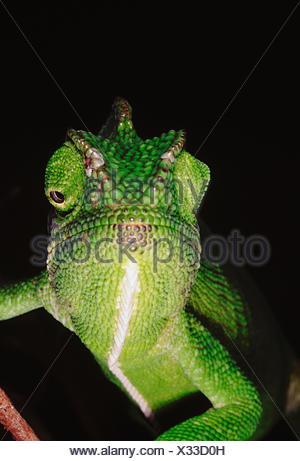 Il camaleonte ha la capacità di cambiare il suo colore così come ombra a seconda del suo umore e dintorni. Chameleon Zeylanicus Foto Stock