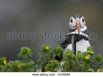 Atlantic puffin (Fratercula arctica) riproduttori adulti con sandlance (Ammodytes americanus) nel suo becco isola Gabbiano Witless Bay ce Foto Stock