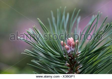 pino Pinus Foto Stock
