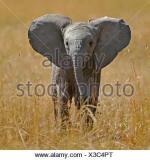 I giovani dell' elefante africano (Loxodonta africana) polpaccio. Masai Mara, Kenya, Africa. Foto Stock