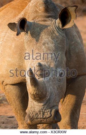 Rinoceronte bianco (Ceratotherium simum), ritratto, Madikwe Game Reserve, nord-ovest, Sud Africa Foto Stock