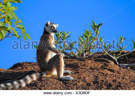 Anello-tailed lemur (Lemur catta), seduta su una roccia a guardare nel la distanza, Madagascar, Andringitra Parco Nazionale Foto Stock