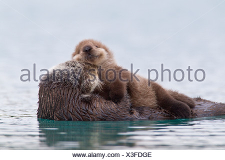 Femmina Lontra di mare con cucciolo neonato cavalcare il suo stomaco, Prince William Sound, centromeridionale Alaska, inverno Foto Stock