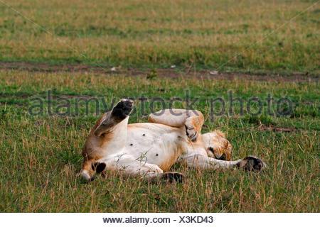 Lion (Panthera leo), Lys in posizione supina dormire, Kenia Masai Mara National Park