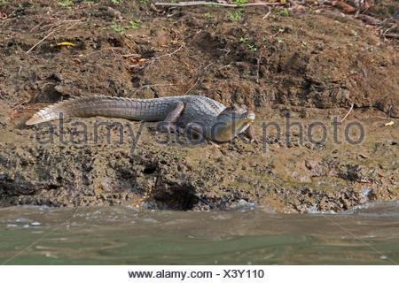 Spectacled Cayman crocodilus Caimano Chuchunaka Fiume Darién Panama