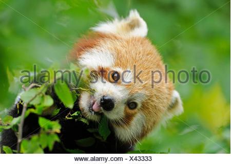 Panda minore, panda rosso (Ailurus fulgens), mangiare panda Foto Stock