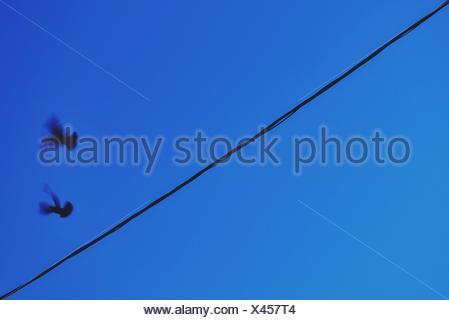 Silhouette piccioni battenti contro il cielo blu e chiaro al crepuscolo Foto Stock